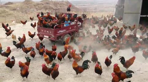 北高壁村山坡散养柴鸡促销笨鸡蛋